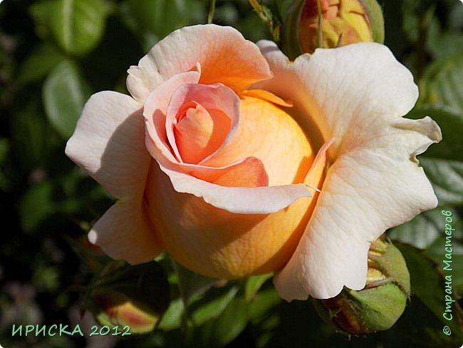 Приветствую всех гостей моей странички!!! Не зря говорят, что роза королева цветов и царица ароматов! У нас на даче море цветов, а особенно мамочка любит розы, кусты роз рассажены по всей даче и они такие разнообразные и безумно красивые. В эти выходные мы были на даче, а там такие чудесные розы, что мне очень захотелось с вами поделиться. Дальше будет много фото. Приятного просмотра!!! фото 65