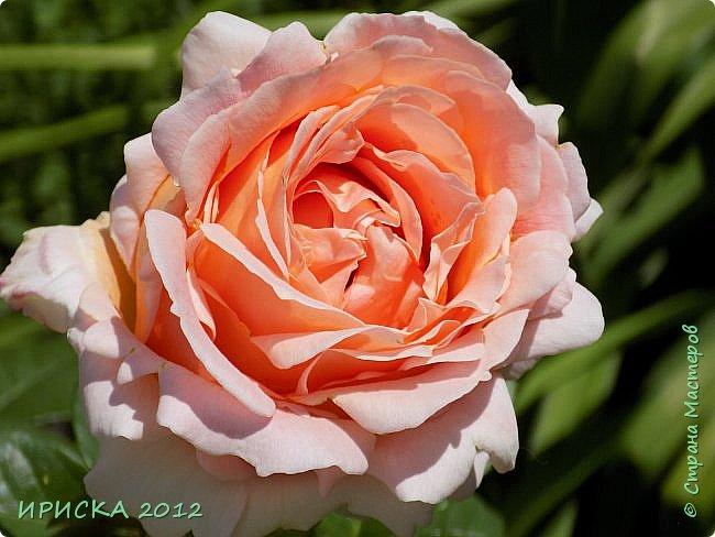 Приветствую всех гостей моей странички!!! Не зря говорят, что роза королева цветов и царица ароматов! У нас на даче море цветов, а особенно мамочка любит розы, кусты роз рассажены по всей даче и они такие разнообразные и безумно красивые. В эти выходные мы были на даче, а там такие чудесные розы, что мне очень захотелось с вами поделиться. Дальше будет много фото. Приятного просмотра!!! фото 66