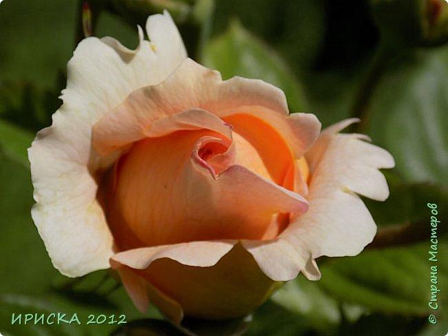 Приветствую всех гостей моей странички!!! Не зря говорят, что роза королева цветов и царица ароматов! У нас на даче море цветов, а особенно мамочка любит розы, кусты роз рассажены по всей даче и они такие разнообразные и безумно красивые. В эти выходные мы были на даче, а там такие чудесные розы, что мне очень захотелось с вами поделиться. Дальше будет много фото. Приятного просмотра!!! фото 67