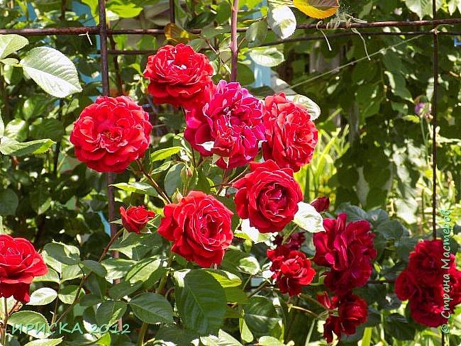 Приветствую всех гостей моей странички!!! Не зря говорят, что роза королева цветов и царица ароматов! У нас на даче море цветов, а особенно мамочка любит розы, кусты роз рассажены по всей даче и они такие разнообразные и безумно красивые. В эти выходные мы были на даче, а там такие чудесные розы, что мне очень захотелось с вами поделиться. Дальше будет много фото. Приятного просмотра!!! фото 68