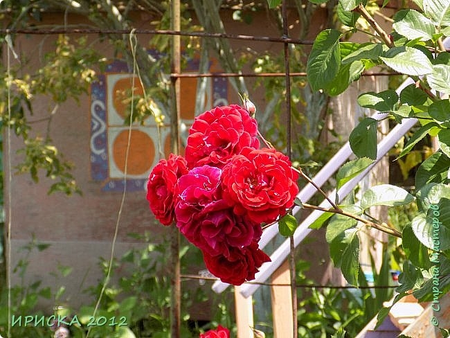 Приветствую всех гостей моей странички!!! Не зря говорят, что роза королева цветов и царица ароматов! У нас на даче море цветов, а особенно мамочка любит розы, кусты роз рассажены по всей даче и они такие разнообразные и безумно красивые. В эти выходные мы были на даче, а там такие чудесные розы, что мне очень захотелось с вами поделиться. Дальше будет много фото. Приятного просмотра!!! фото 69