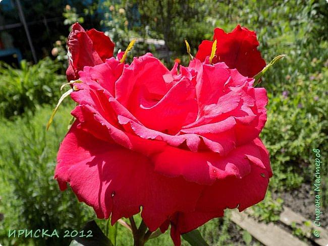 Приветствую всех гостей моей странички!!! Не зря говорят, что роза королева цветов и царица ароматов! У нас на даче море цветов, а особенно мамочка любит розы, кусты роз рассажены по всей даче и они такие разнообразные и безумно красивые. В эти выходные мы были на даче, а там такие чудесные розы, что мне очень захотелось с вами поделиться. Дальше будет много фото. Приятного просмотра!!! фото 70