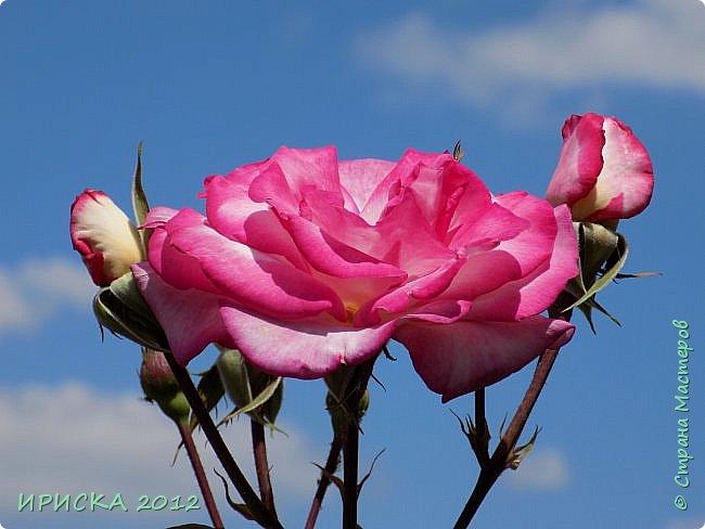 Приветствую всех гостей моей странички!!! Не зря говорят, что роза королева цветов и царица ароматов! У нас на даче море цветов, а особенно мамочка любит розы, кусты роз рассажены по всей даче и они такие разнообразные и безумно красивые. В эти выходные мы были на даче, а там такие чудесные розы, что мне очень захотелось с вами поделиться. Дальше будет много фото. Приятного просмотра!!! фото 71