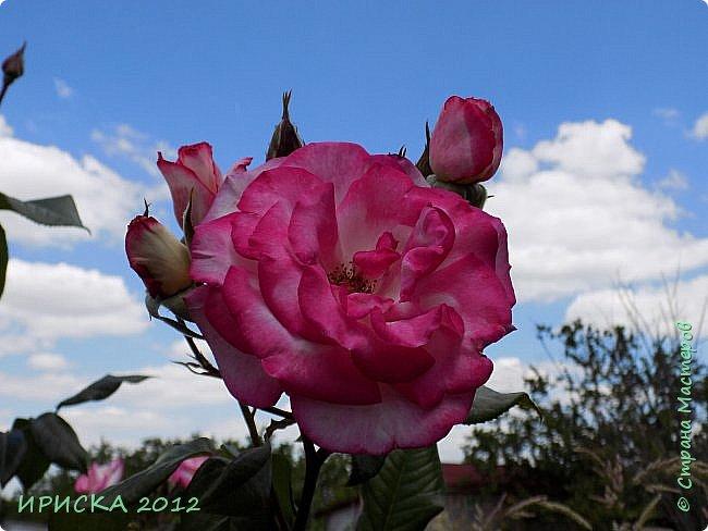 Приветствую всех гостей моей странички!!! Не зря говорят, что роза королева цветов и царица ароматов! У нас на даче море цветов, а особенно мамочка любит розы, кусты роз рассажены по всей даче и они такие разнообразные и безумно красивые. В эти выходные мы были на даче, а там такие чудесные розы, что мне очень захотелось с вами поделиться. Дальше будет много фото. Приятного просмотра!!! фото 73