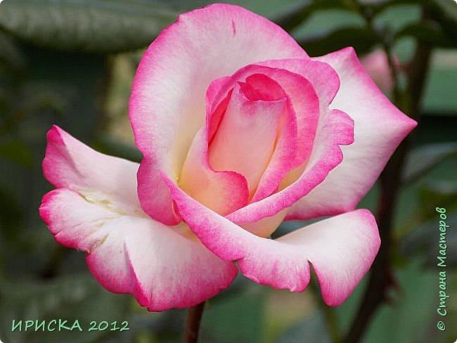 Приветствую всех гостей моей странички!!! Не зря говорят, что роза королева цветов и царица ароматов! У нас на даче море цветов, а особенно мамочка любит розы, кусты роз рассажены по всей даче и они такие разнообразные и безумно красивые. В эти выходные мы были на даче, а там такие чудесные розы, что мне очень захотелось с вами поделиться. Дальше будет много фото. Приятного просмотра!!! фото 75