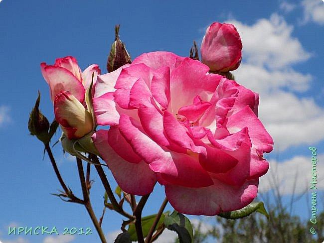 Приветствую всех гостей моей странички!!! Не зря говорят, что роза королева цветов и царица ароматов! У нас на даче море цветов, а особенно мамочка любит розы, кусты роз рассажены по всей даче и они такие разнообразные и безумно красивые. В эти выходные мы были на даче, а там такие чудесные розы, что мне очень захотелось с вами поделиться. Дальше будет много фото. Приятного просмотра!!! фото 76