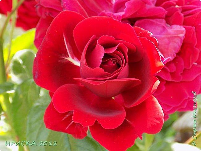 Приветствую всех гостей моей странички!!! Не зря говорят, что роза королева цветов и царица ароматов! У нас на даче море цветов, а особенно мамочка любит розы, кусты роз рассажены по всей даче и они такие разнообразные и безумно красивые. В эти выходные мы были на даче, а там такие чудесные розы, что мне очень захотелось с вами поделиться. Дальше будет много фото. Приятного просмотра!!! фото 77