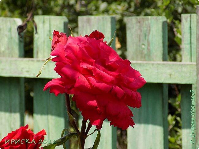 Приветствую всех гостей моей странички!!! Не зря говорят, что роза королева цветов и царица ароматов! У нас на даче море цветов, а особенно мамочка любит розы, кусты роз рассажены по всей даче и они такие разнообразные и безумно красивые. В эти выходные мы были на даче, а там такие чудесные розы, что мне очень захотелось с вами поделиться. Дальше будет много фото. Приятного просмотра!!! фото 78