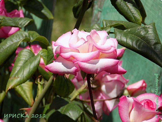 Приветствую всех гостей моей странички!!! Не зря говорят, что роза королева цветов и царица ароматов! У нас на даче море цветов, а особенно мамочка любит розы, кусты роз рассажены по всей даче и они такие разнообразные и безумно красивые. В эти выходные мы были на даче, а там такие чудесные розы, что мне очень захотелось с вами поделиться. Дальше будет много фото. Приятного просмотра!!! фото 79