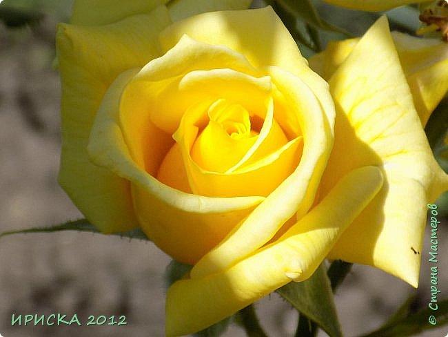 Приветствую всех гостей моей странички!!! Не зря говорят, что роза королева цветов и царица ароматов! У нас на даче море цветов, а особенно мамочка любит розы, кусты роз рассажены по всей даче и они такие разнообразные и безумно красивые. В эти выходные мы были на даче, а там такие чудесные розы, что мне очень захотелось с вами поделиться. Дальше будет много фото. Приятного просмотра!!! фото 81