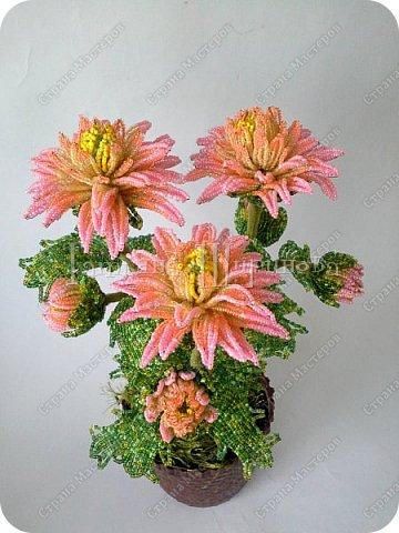 хризантемы фото 3