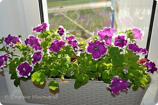 Весной исполнила свою давнюю мечту: украсить цветами окно с улицы. Посадила вырастила, а лето так и не пришло:) Ночи холодные, так и стоят дома фото 1