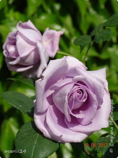 Роза – символ совершенства, Мудрости и чистоты. Признано её главенство, Средь цветочной пестроты. В лепестках хранит царица, Тайну нежности, любви. Каждый может насладиться, Эталоном красоты. Роз букет – очарованье, Дарит символ каждый цвет: Красный – путь к любви, признанье, Белый – чистоты завет.  ВесАн фото 2