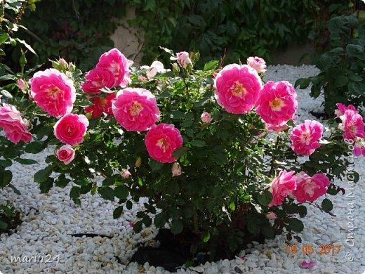 Роза – символ совершенства, Мудрости и чистоты. Признано её главенство, Средь цветочной пестроты. В лепестках хранит царица, Тайну нежности, любви. Каждый может насладиться, Эталоном красоты. Роз букет – очарованье, Дарит символ каждый цвет: Красный – путь к любви, признанье, Белый – чистоты завет.  ВесАн фото 3