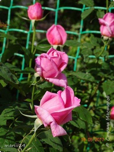 Роза – символ совершенства, Мудрости и чистоты. Признано её главенство, Средь цветочной пестроты. В лепестках хранит царица, Тайну нежности, любви. Каждый может насладиться, Эталоном красоты. Роз букет – очарованье, Дарит символ каждый цвет: Красный – путь к любви, признанье, Белый – чистоты завет.  ВесАн фото 4
