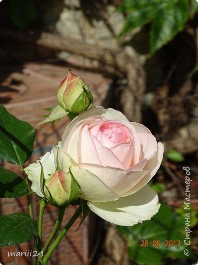Роза – символ совершенства, Мудрости и чистоты. Признано её главенство, Средь цветочной пестроты. В лепестках хранит царица, Тайну нежности, любви. Каждый может насладиться, Эталоном красоты. Роз букет – очарованье, Дарит символ каждый цвет: Красный – путь к любви, признанье, Белый – чистоты завет.  ВесАн фото 5