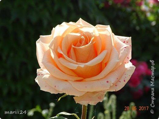 Роза – символ совершенства, Мудрости и чистоты. Признано её главенство, Средь цветочной пестроты. В лепестках хранит царица, Тайну нежности, любви. Каждый может насладиться, Эталоном красоты. Роз букет – очарованье, Дарит символ каждый цвет: Красный – путь к любви, признанье, Белый – чистоты завет.  ВесАн фото 6