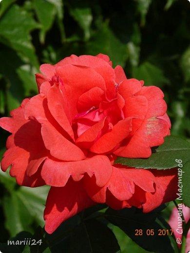 Роза – символ совершенства, Мудрости и чистоты. Признано её главенство, Средь цветочной пестроты. В лепестках хранит царица, Тайну нежности, любви. Каждый может насладиться, Эталоном красоты. Роз букет – очарованье, Дарит символ каждый цвет: Красный – путь к любви, признанье, Белый – чистоты завет.  ВесАн фото 7