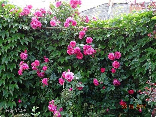 Роза – символ совершенства, Мудрости и чистоты. Признано её главенство, Средь цветочной пестроты. В лепестках хранит царица, Тайну нежности, любви. Каждый может насладиться, Эталоном красоты. Роз букет – очарованье, Дарит символ каждый цвет: Красный – путь к любви, признанье, Белый – чистоты завет.  ВесАн фото 14