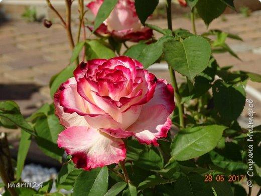Роза – символ совершенства, Мудрости и чистоты. Признано её главенство, Средь цветочной пестроты. В лепестках хранит царица, Тайну нежности, любви. Каждый может насладиться, Эталоном красоты. Роз букет – очарованье, Дарит символ каждый цвет: Красный – путь к любви, признанье, Белый – чистоты завет.  ВесАн фото 8