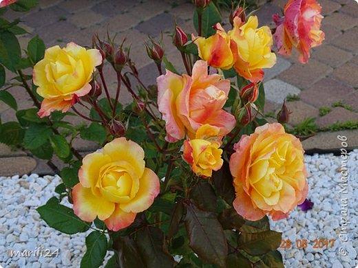 Роза – символ совершенства, Мудрости и чистоты. Признано её главенство, Средь цветочной пестроты. В лепестках хранит царица, Тайну нежности, любви. Каждый может насладиться, Эталоном красоты. Роз букет – очарованье, Дарит символ каждый цвет: Красный – путь к любви, признанье, Белый – чистоты завет.  ВесАн фото 10