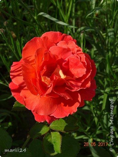 Роза – символ совершенства, Мудрости и чистоты. Признано её главенство, Средь цветочной пестроты. В лепестках хранит царица, Тайну нежности, любви. Каждый может насладиться, Эталоном красоты. Роз букет – очарованье, Дарит символ каждый цвет: Красный – путь к любви, признанье, Белый – чистоты завет.  ВесАн фото 11