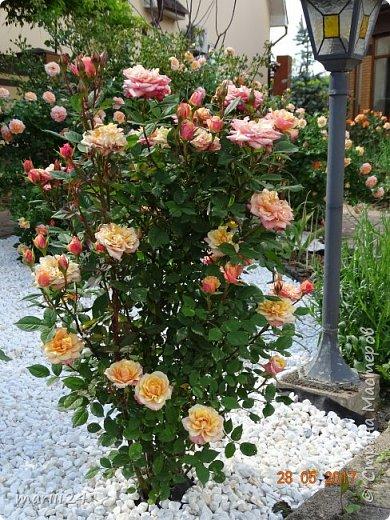 Роза – символ совершенства, Мудрости и чистоты. Признано её главенство, Средь цветочной пестроты. В лепестках хранит царица, Тайну нежности, любви. Каждый может насладиться, Эталоном красоты. Роз букет – очарованье, Дарит символ каждый цвет: Красный – путь к любви, признанье, Белый – чистоты завет.  ВесАн фото 17