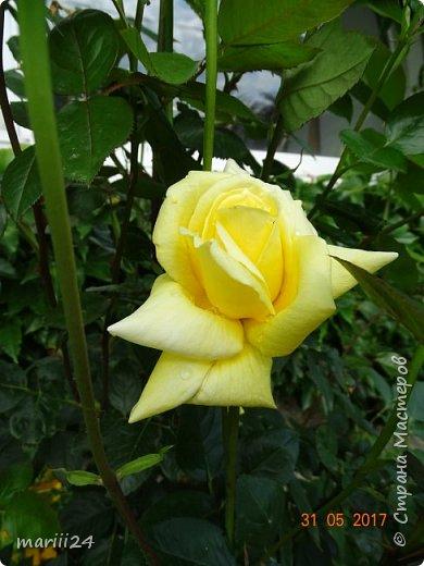 Роза – символ совершенства, Мудрости и чистоты. Признано её главенство, Средь цветочной пестроты. В лепестках хранит царица, Тайну нежности, любви. Каждый может насладиться, Эталоном красоты. Роз букет – очарованье, Дарит символ каждый цвет: Красный – путь к любви, признанье, Белый – чистоты завет.  ВесАн фото 21
