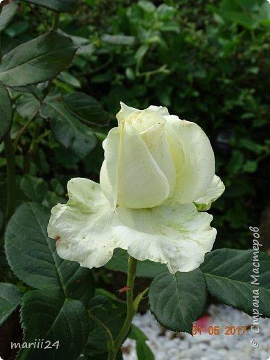Роза – символ совершенства, Мудрости и чистоты. Признано её главенство, Средь цветочной пестроты. В лепестках хранит царица, Тайну нежности, любви. Каждый может насладиться, Эталоном красоты. Роз букет – очарованье, Дарит символ каждый цвет: Красный – путь к любви, признанье, Белый – чистоты завет.  ВесАн фото 22