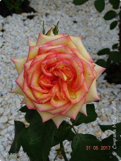 Роза – символ совершенства, Мудрости и чистоты. Признано её главенство, Средь цветочной пестроты. В лепестках хранит царица, Тайну нежности, любви. Каждый может насладиться, Эталоном красоты. Роз букет – очарованье, Дарит символ каждый цвет: Красный – путь к любви, признанье, Белый – чистоты завет.  ВесАн фото 23