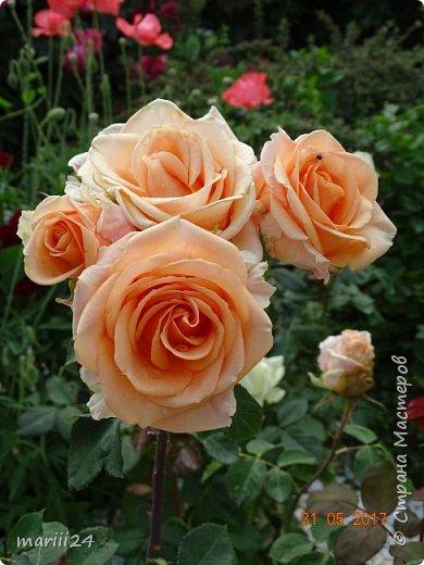 Роза – символ совершенства, Мудрости и чистоты. Признано её главенство, Средь цветочной пестроты. В лепестках хранит царица, Тайну нежности, любви. Каждый может насладиться, Эталоном красоты. Роз букет – очарованье, Дарит символ каждый цвет: Красный – путь к любви, признанье, Белый – чистоты завет.  ВесАн фото 25