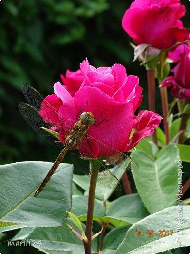 Роза – символ совершенства, Мудрости и чистоты. Признано её главенство, Средь цветочной пестроты. В лепестках хранит царица, Тайну нежности, любви. Каждый может насладиться, Эталоном красоты. Роз букет – очарованье, Дарит символ каждый цвет: Красный – путь к любви, признанье, Белый – чистоты завет.  ВесАн фото 26