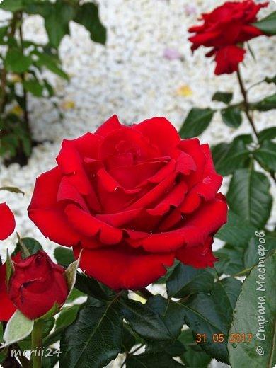Роза – символ совершенства, Мудрости и чистоты. Признано её главенство, Средь цветочной пестроты. В лепестках хранит царица, Тайну нежности, любви. Каждый может насладиться, Эталоном красоты. Роз букет – очарованье, Дарит символ каждый цвет: Красный – путь к любви, признанье, Белый – чистоты завет.  ВесАн фото 27