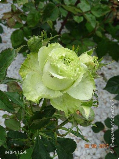 Роза – символ совершенства, Мудрости и чистоты. Признано её главенство, Средь цветочной пестроты. В лепестках хранит царица, Тайну нежности, любви. Каждый может насладиться, Эталоном красоты. Роз букет – очарованье, Дарит символ каждый цвет: Красный – путь к любви, признанье, Белый – чистоты завет.  ВесАн фото 28