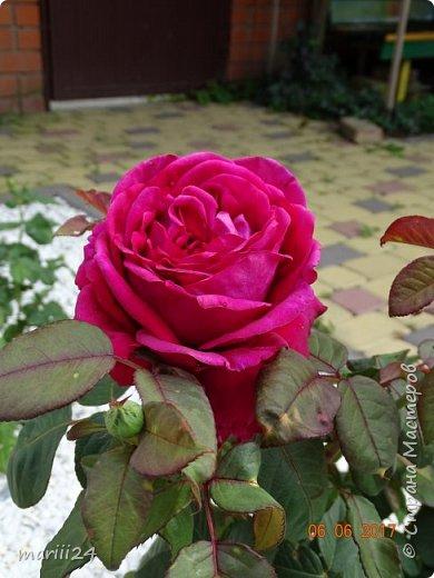 Роза – символ совершенства, Мудрости и чистоты. Признано её главенство, Средь цветочной пестроты. В лепестках хранит царица, Тайну нежности, любви. Каждый может насладиться, Эталоном красоты. Роз букет – очарованье, Дарит символ каждый цвет: Красный – путь к любви, признанье, Белый – чистоты завет.  ВесАн фото 30