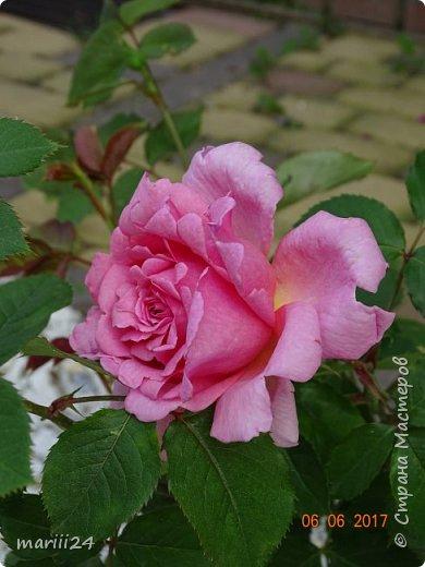 Роза – символ совершенства, Мудрости и чистоты. Признано её главенство, Средь цветочной пестроты. В лепестках хранит царица, Тайну нежности, любви. Каждый может насладиться, Эталоном красоты. Роз букет – очарованье, Дарит символ каждый цвет: Красный – путь к любви, признанье, Белый – чистоты завет.  ВесАн фото 32
