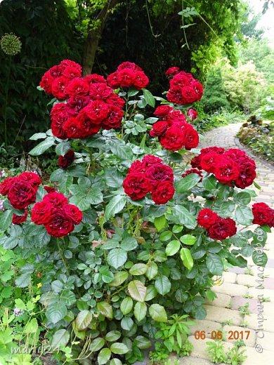 Роза – символ совершенства, Мудрости и чистоты. Признано её главенство, Средь цветочной пестроты. В лепестках хранит царица, Тайну нежности, любви. Каждый может насладиться, Эталоном красоты. Роз букет – очарованье, Дарит символ каждый цвет: Красный – путь к любви, признанье, Белый – чистоты завет.  ВесАн фото 33