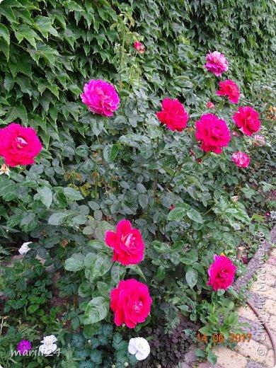 Роза – символ совершенства, Мудрости и чистоты. Признано её главенство, Средь цветочной пестроты. В лепестках хранит царица, Тайну нежности, любви. Каждый может насладиться, Эталоном красоты. Роз букет – очарованье, Дарит символ каждый цвет: Красный – путь к любви, признанье, Белый – чистоты завет.  ВесАн фото 37