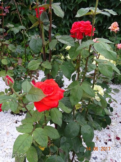 Роза – символ совершенства, Мудрости и чистоты. Признано её главенство, Средь цветочной пестроты. В лепестках хранит царица, Тайну нежности, любви. Каждый может насладиться, Эталоном красоты. Роз букет – очарованье, Дарит символ каждый цвет: Красный – путь к любви, признанье, Белый – чистоты завет.  ВесАн фото 35
