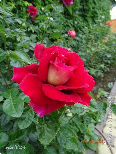 Роза – символ совершенства, Мудрости и чистоты. Признано её главенство, Средь цветочной пестроты. В лепестках хранит царица, Тайну нежности, любви. Каждый может насладиться, Эталоном красоты. Роз букет – очарованье, Дарит символ каждый цвет: Красный – путь к любви, признанье, Белый – чистоты завет.  ВесАн фото 36