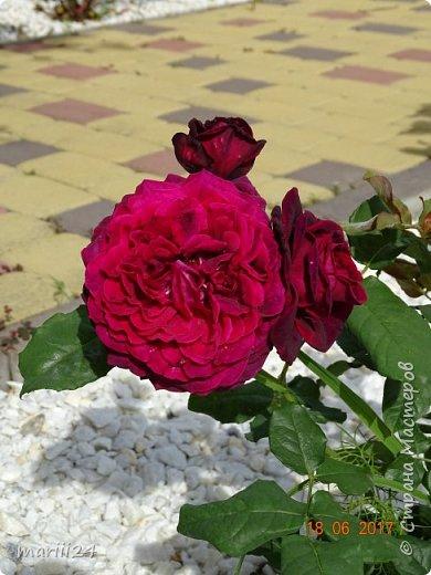 Роза – символ совершенства, Мудрости и чистоты. Признано её главенство, Средь цветочной пестроты. В лепестках хранит царица, Тайну нежности, любви. Каждый может насладиться, Эталоном красоты. Роз букет – очарованье, Дарит символ каждый цвет: Красный – путь к любви, признанье, Белый – чистоты завет.  ВесАн фото 39