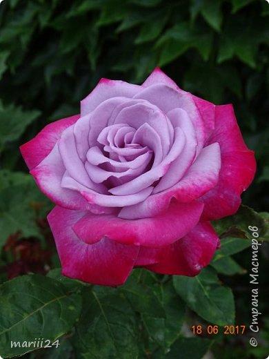 Роза – символ совершенства, Мудрости и чистоты. Признано её главенство, Средь цветочной пестроты. В лепестках хранит царица, Тайну нежности, любви. Каждый может насладиться, Эталоном красоты. Роз букет – очарованье, Дарит символ каждый цвет: Красный – путь к любви, признанье, Белый – чистоты завет.  ВесАн фото 40