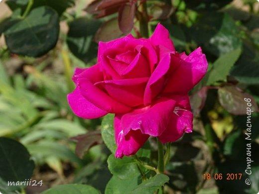 Роза – символ совершенства, Мудрости и чистоты. Признано её главенство, Средь цветочной пестроты. В лепестках хранит царица, Тайну нежности, любви. Каждый может насладиться, Эталоном красоты. Роз букет – очарованье, Дарит символ каждый цвет: Красный – путь к любви, признанье, Белый – чистоты завет.  ВесАн фото 45