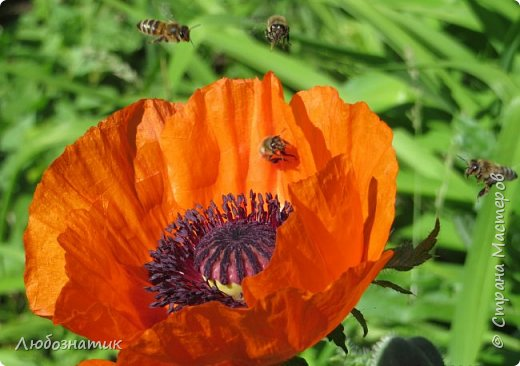 Добрый вечер всем!  У меня зацвел мак!!!   Трудолюбивые  пчелки фото 1