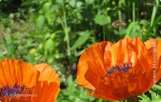 Добрый вечер всем!  У меня зацвел мак!!!   Трудолюбивые  пчелки фото 10