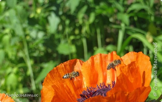 Добрый вечер всем!  У меня зацвел мак!!!   Трудолюбивые  пчелки фото 12
