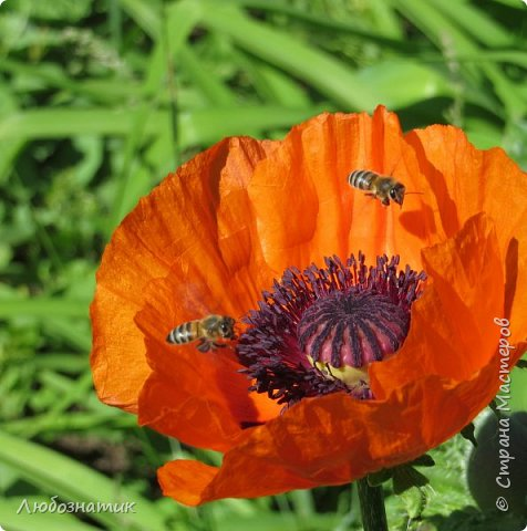 Добрый вечер всем!  У меня зацвел мак!!!   Трудолюбивые  пчелки фото 3