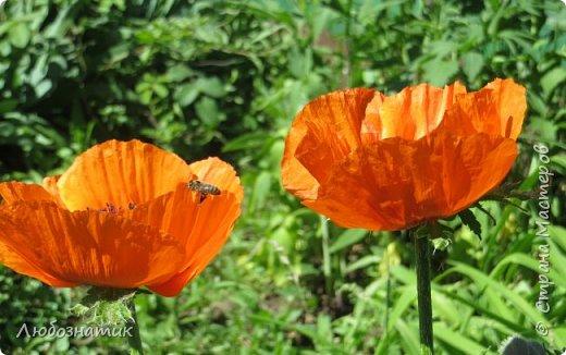 Добрый вечер всем!  У меня зацвел мак!!!   Трудолюбивые  пчелки фото 4