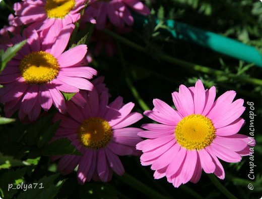 ЗДРАВСТВУЙТЕ!!!! Так получается в последнее время,что за неделю у меня накапливаются фото,которыми я,с огромной радостью,делюсь с вами!!! Вот и в этот раз хочу показать и цветы,и своих смешных иногда питомцев)) Вот такая погода стоит в этом году,сразу всё и в одно время : и солнце,и тучи,и дождь,и сильный ветер!... фото 32