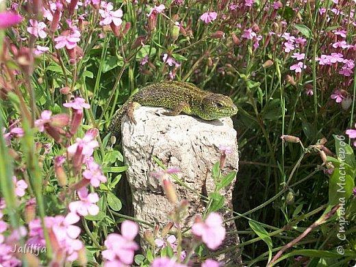 Всем моим полуночным гостям ещё несколько картинок из жизни  моих ящерок. Те, кто смотрел первые серии, уже знакомы с этой егозой, которая народилась  этой весной. фото 22